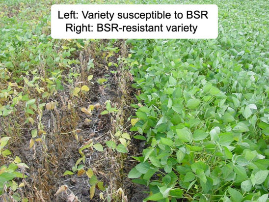 Field comparison of variety susceptible to brown stem rot and brown stem rot-resistant variety