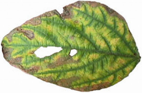 Foliar symptoms of brown stem rot.