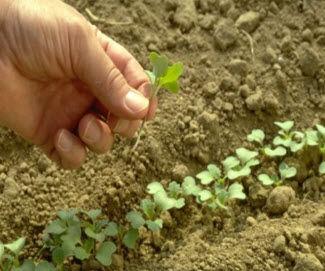 Canola seedlings