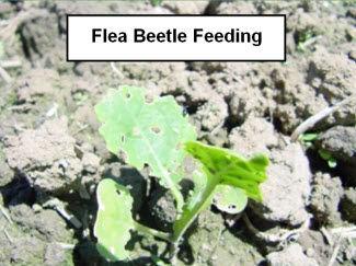 Canola seedling damaged from flea beetle feeding