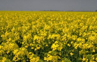 Canola field in bloom.