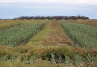 Distance shot of a partly harvested canola field.