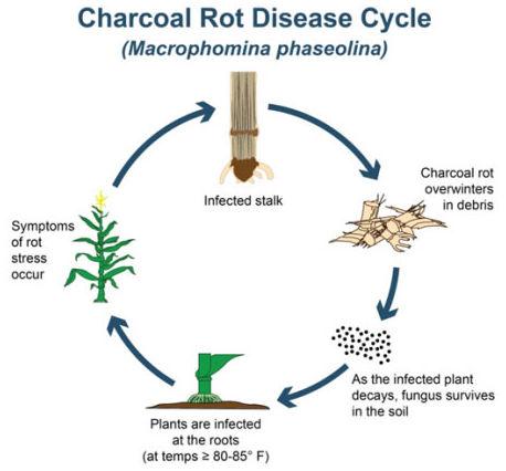 Charcoal rot in corn - disease cycle.