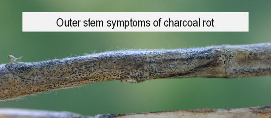 Outer and inner stem symptoms of charcoal rot