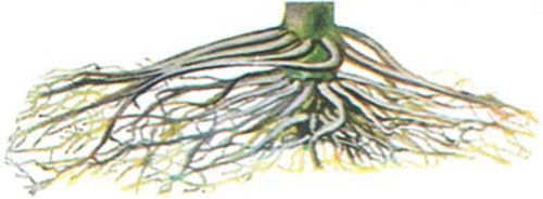 corn roots showing chemical damage symptoms