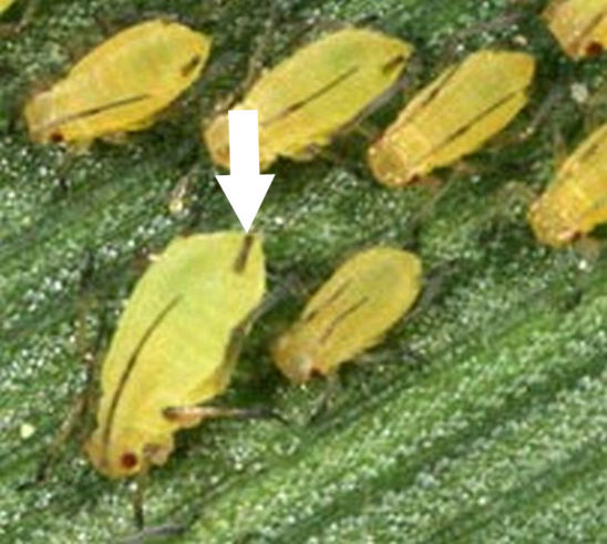 English grain aphids are bright green in color with very long dusty cornicles, long dusty gray antennae and green legs.