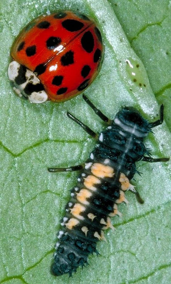 Adult lady beetle and larva.