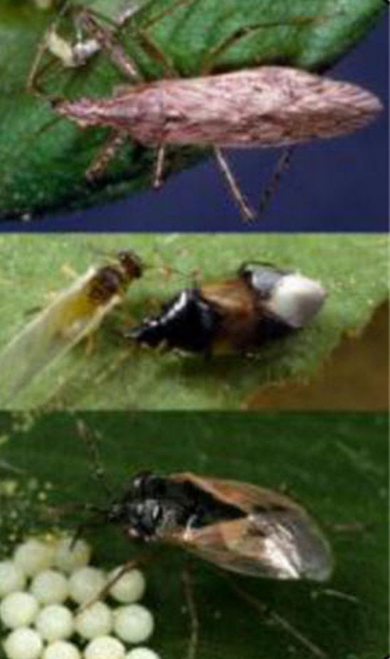 Predatory bugs - Damsel Bug, Minute Pirate Bug, Big Eyed Bug