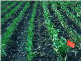 Clipped treatment left of red flag. Clipped corn plants appear less restricted 2 weeks after the clipping treatment.