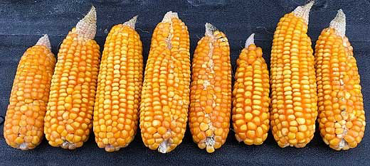 Corn ears showing reduced kernel counts in affected area - rootworm feeding.