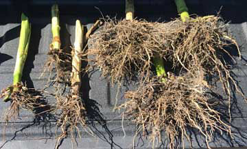 Comparison photos of corn roots sampled from affected and unaffected areas showing severe corn rootworm feeding in the affected part of a field.