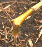 Collapsed corn stalk.