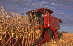 Corn harvest.
