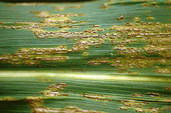 Photo showing typical symptoms of common rust on corn leaf.