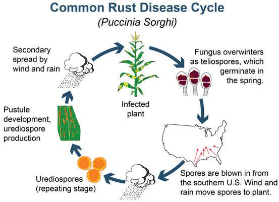 Common rust disease cycle in corn.