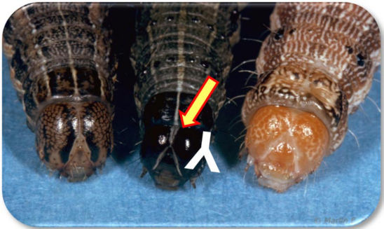 Photo: Similar caterpillar species found on corn (armyworm, fall armyworm and corn earworm.)
