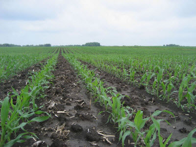 N-sufficient corn field at V5. Most N is applied for corn well ahead of the period of peak crop uptake (V8 to tasseling).