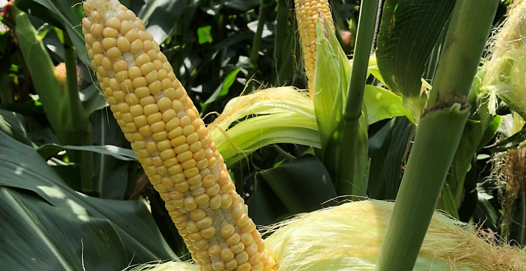 Closeup - corn ears with pollination issues