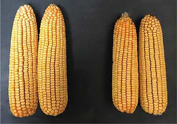 Comparison photo showing mature corn ears with improved yield potential corresponding to better plant health in the fungicide-treated field strip.