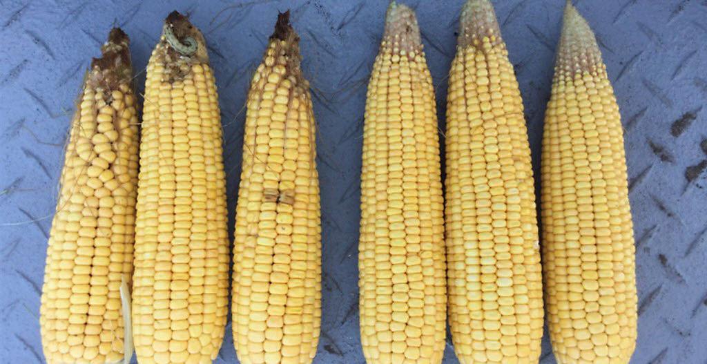 Corn ears side-by-side feeding damage.