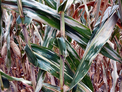 A positive return from a fungicide application is more likely when conditions favor foliar disease development.