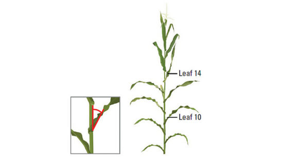 Leaf angle measurements on leaf 10 and leaf 14.