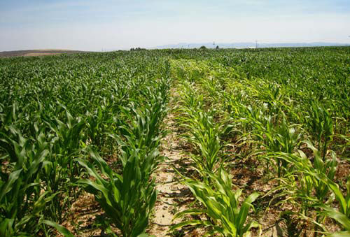 Corn plants exhibiting yellow striped leaves from micronutrient deficiency next to corn plants with no symptoms.