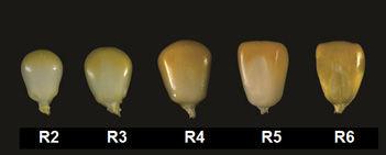 R2 through R6 stage corn kernels.