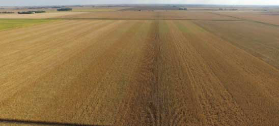 Photo showing Pioneer GrowingPoint agronomy on-farm seeding rate trial prior to harvest (Iowa, 2017).