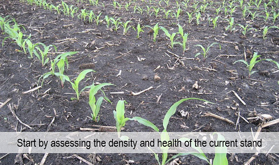 Photo of corn seedlings in field, early spring.