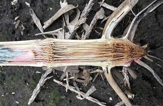 Photo - Corn stalk showing substantial pith degradation in the lower internodes - stalk rot pathogen damage.