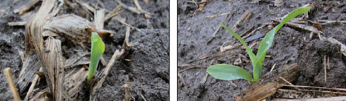 Corn seedling emergence under cold, wet conditions