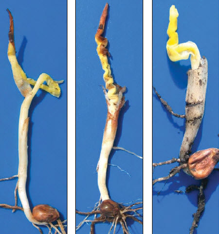 Photos - Common symptoms of cold damage during imbibition and seedling emergence.