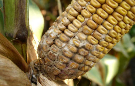 Corn ear damaged from diplodia ear rot