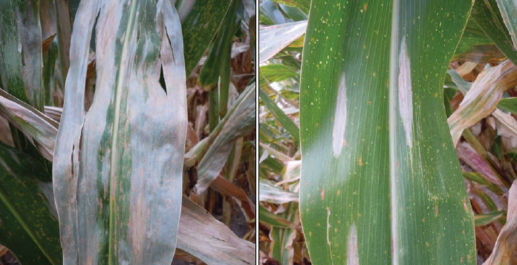 Northern corn leaf blight lesions on leaves of 2 hybrids with differing levels of genetic resistance