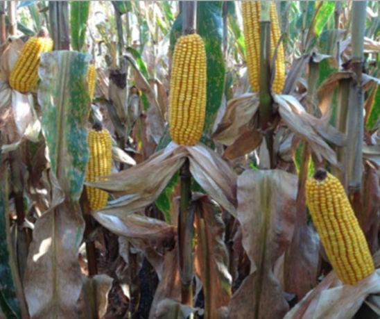 Photo: Field corn.