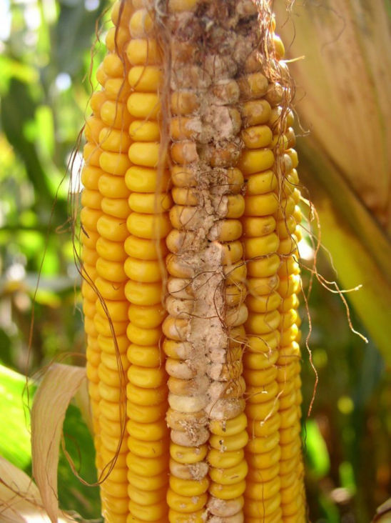 corn earworm damage down the ear