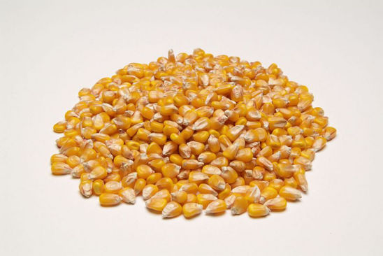 Corn grain quality is determined by hybrid, growing conditions, harvest practices and drying operations.