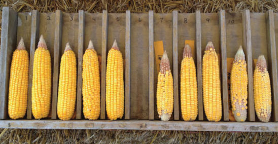 Ears of an Optimum® AQUAmax® hybrid and a hybrid of similar maturity but with lower drought tolerance produced under significant drought stress at Johnston, Iowa, in 2012.