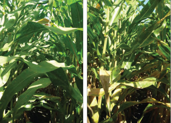 Two hybrids showing different levels of foliar disease symptoms.