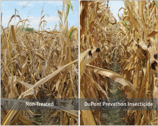 Refuge hybrid without (left) and with (right) an application of DuPont Prevathon insecticide in a trial near Wynne, Ark., in 2012.