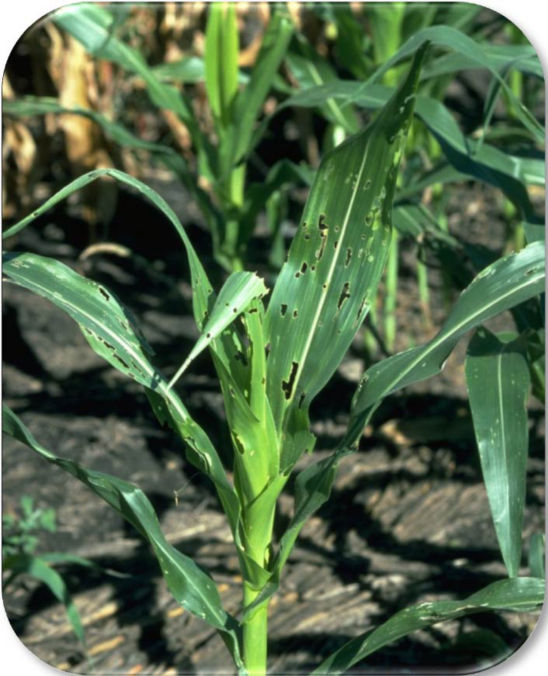 Photo: Whorl-stage corn injury from fall armyworm