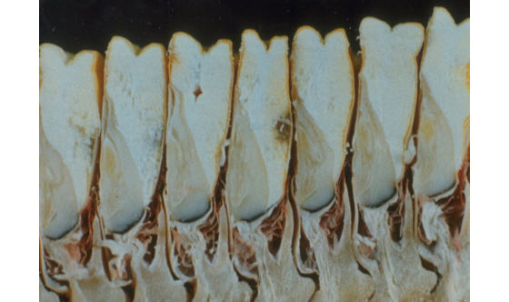 Cross section of kernels following physiological maturity. The black abscission layer is visible at the tip of the kernels.