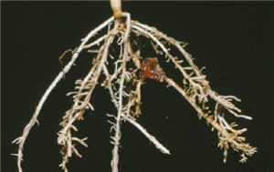 Root pruning caused by needle nematodes.