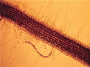 Stunt nematode on corn root.