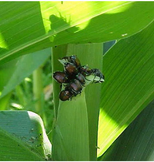 Japanese beetles can interfere with pollination by clipping silks.