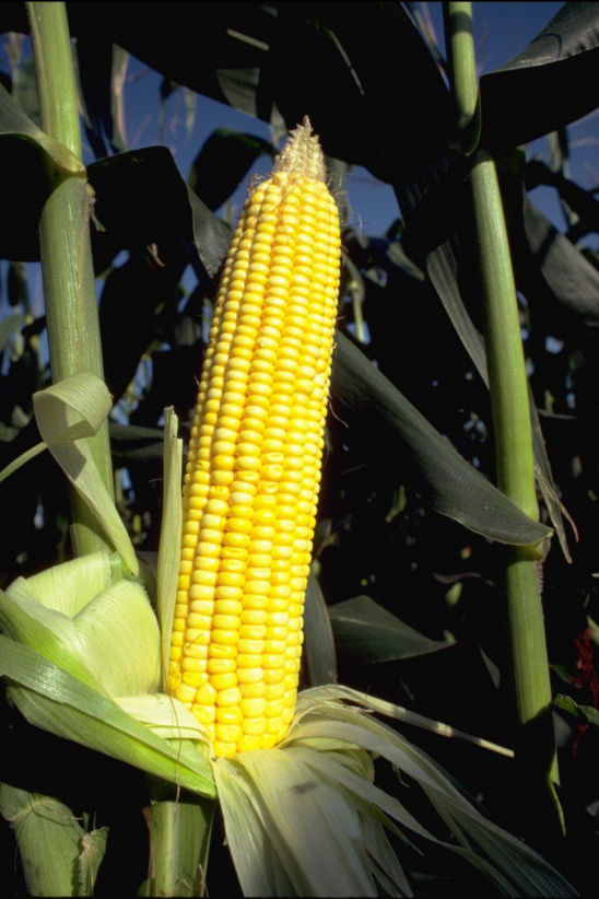 Corn kernel set requires the successful completion of several plant processes.