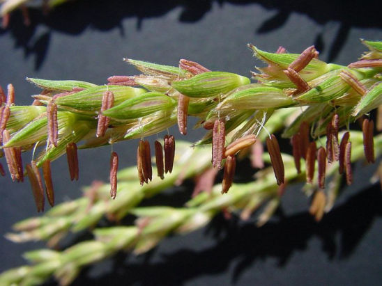 Once corn pollen grains have matured inside corn anthers, these anthers begin to dry or dehisce.