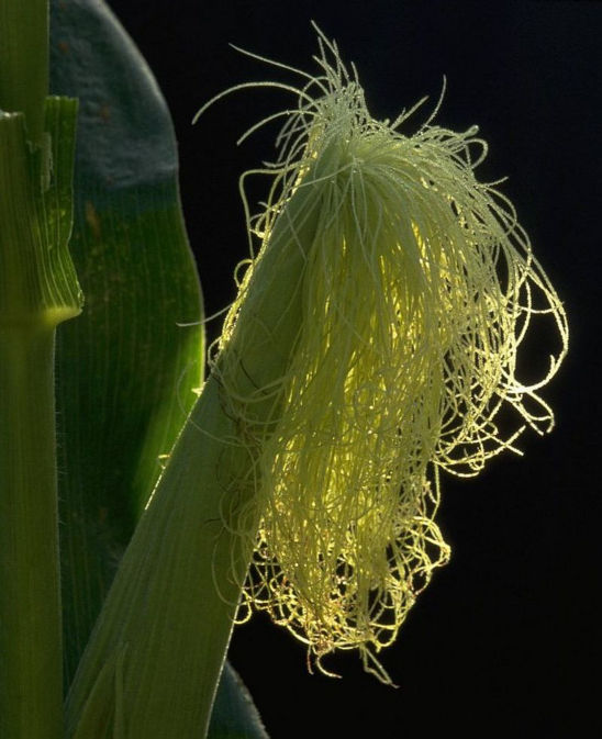 Silks that emerge after most of the pollen is shed may not be pollinated.