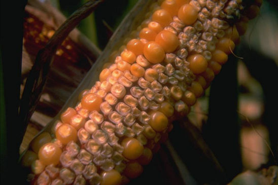 Drought stress can prevent corn pollination, as well as cause successfully pollinated kernels to abort.